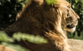 lion-parc-st-leger-félins